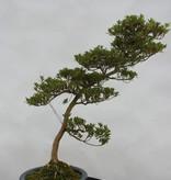 Bonsai Azalea SatsukiShinzan, nr. 5408
