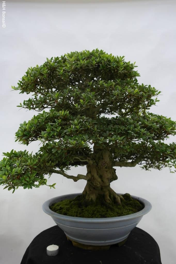 Bonsai Azalea SatsukiJuko, no. 5707
