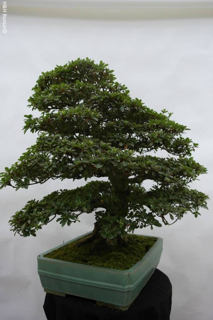 Bonsai Azalee Satsuki, Azalea Satsuki Usuji Gyoten, nr. 5880