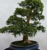 Bonsai Azalee Satsuki, Azalea Satsuki, nr. 5867