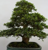 Bonsai Azalea SatsukiJuko no Homare, no. 5687