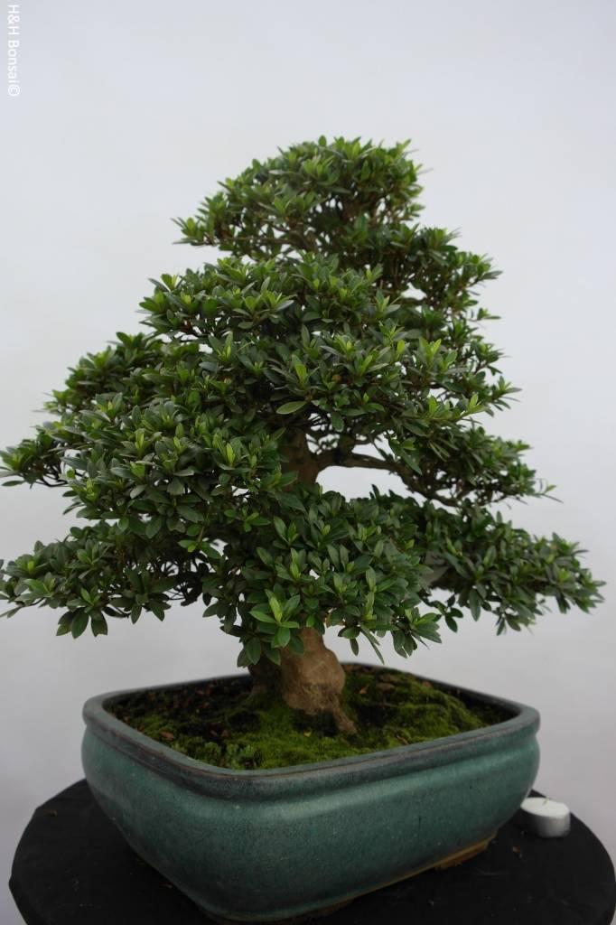 Bonsai Azalée du Japon, Azalea SatsukiJuko no Homare, no. 5687