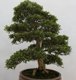 Bonsai Azalea Satsuki Akane, nr. 5187