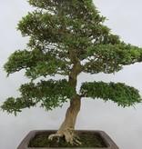 Bonsai Azalea SatsukiSaiko, nr. 5698