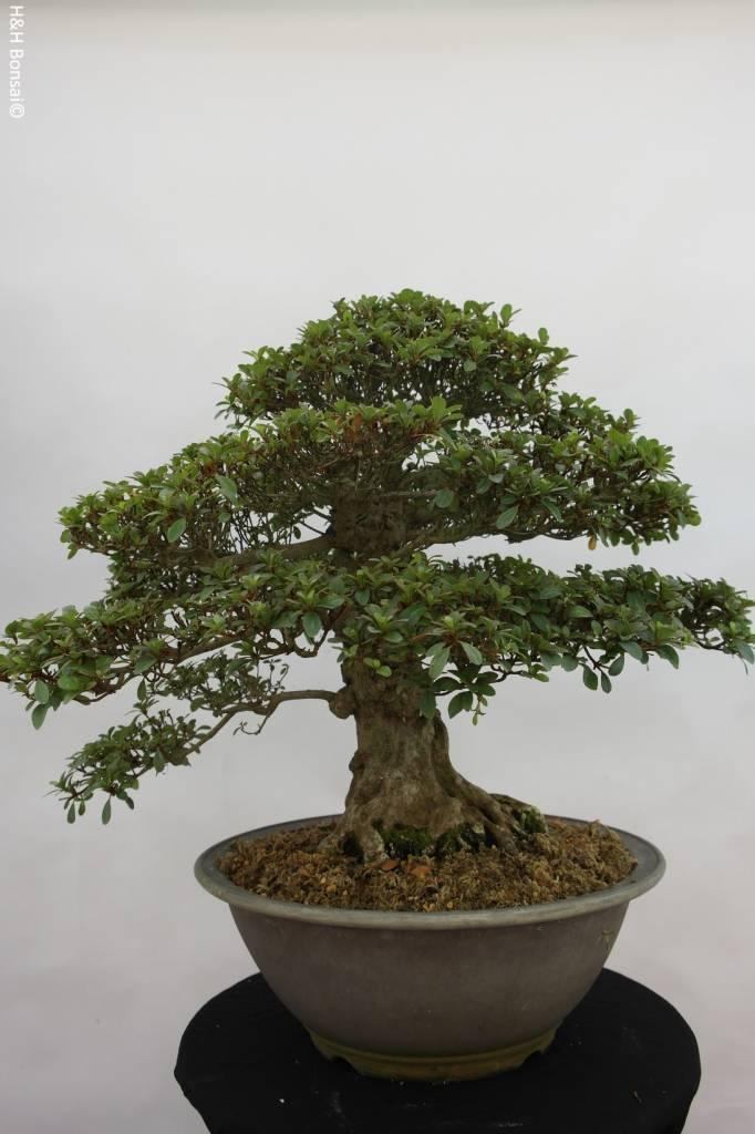 Bonsai Azalée du Japon, Azalea Satsuki, no. 5878