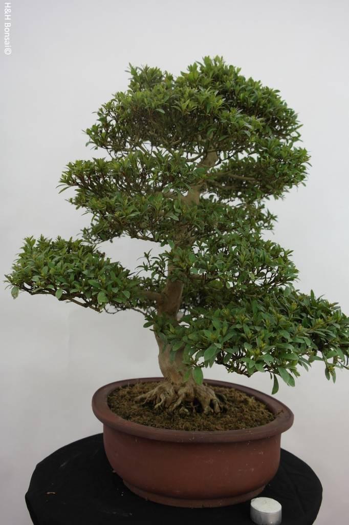 Bonsai Azalea Satsuki Saiko, nr. 5204