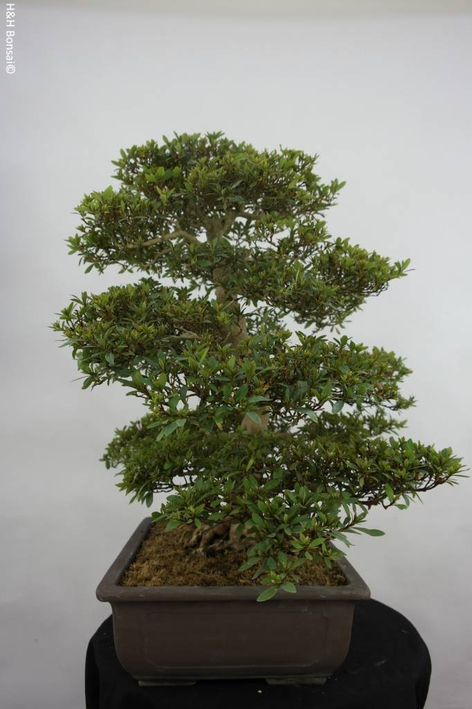 Bonsai Azalea Satsuki Seiko, nr. 5680