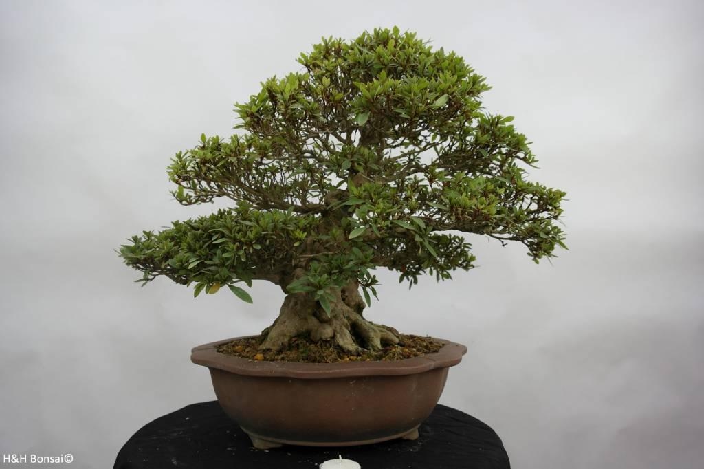 Bonsai Azalee Satsuki, Azalea Satsuki Nikko, nr. 5186