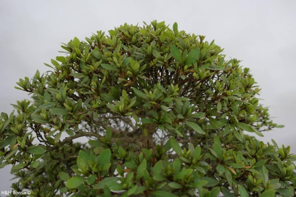 Bonsai Azalée du Japon, Azalea Satsuki Nikko, no. 5186