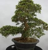 Bonsai Azalea SatsukiKozan, nr. 5697
