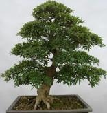 Bonsai Azalea SatsukiSaiko, nr. 5696