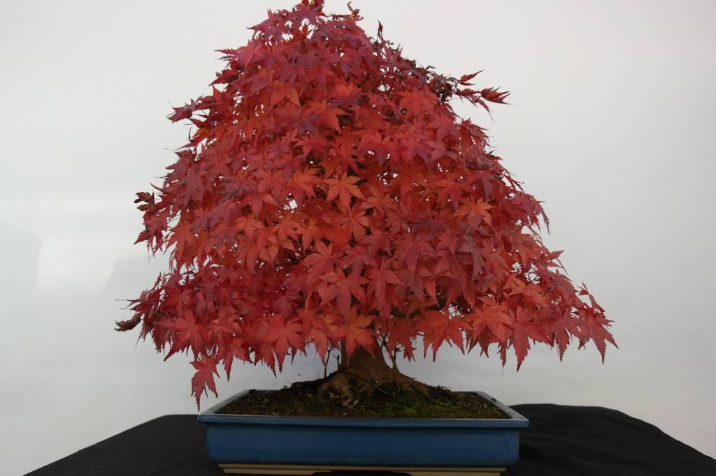 Bonsai Voor Binnen.Bonsai Acer Palmatum Japanse Esdoorn Nr 5509