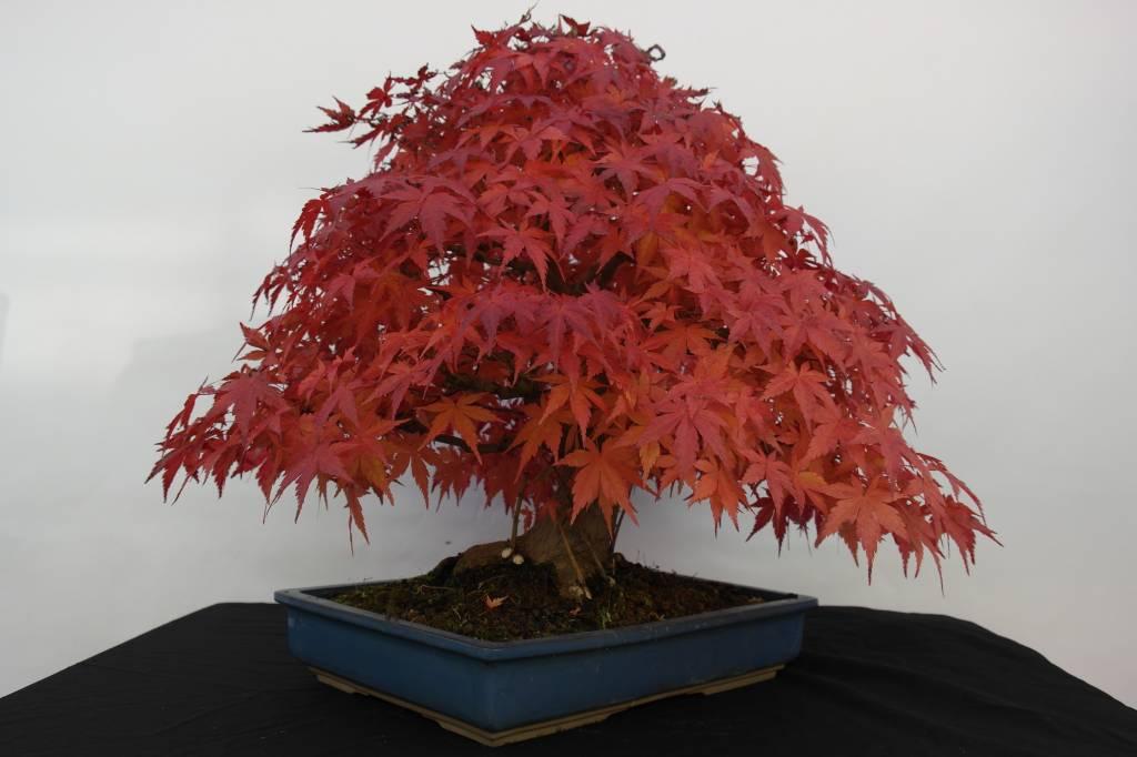 Bonsai Acer palmatum, Japanse esdoorn, nr. 5509