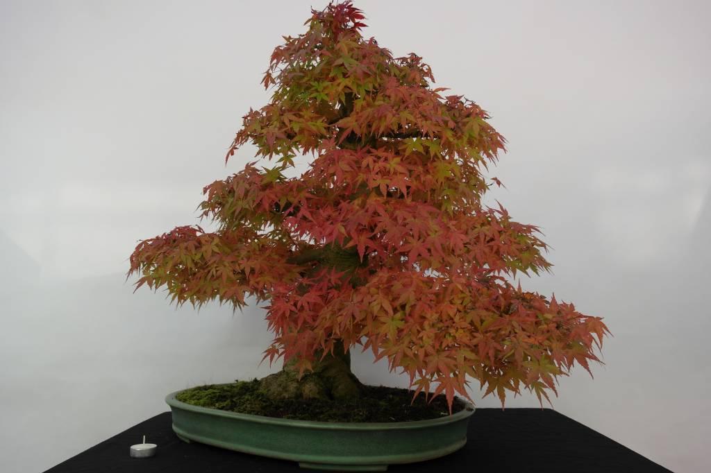 Bonsai L'Erable du Japon, Acer palmatum, no. 5508