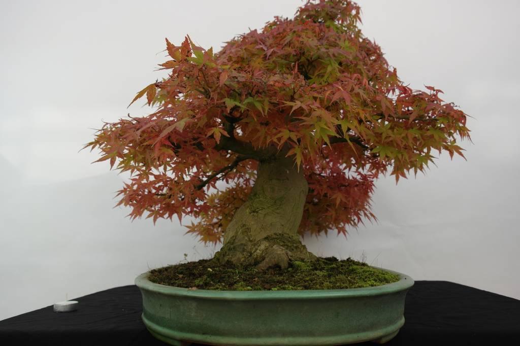 Bonsai Acer palmatum, Japanse esdoorn, nr. 5508