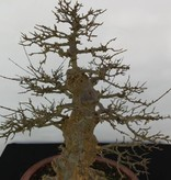 Bonsai Dreispitzahorn, Acer buergerianum, nr. 5184
