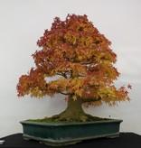 Bonsai Jap. Fächerahorn, Acer palmatum, nr. 5499
