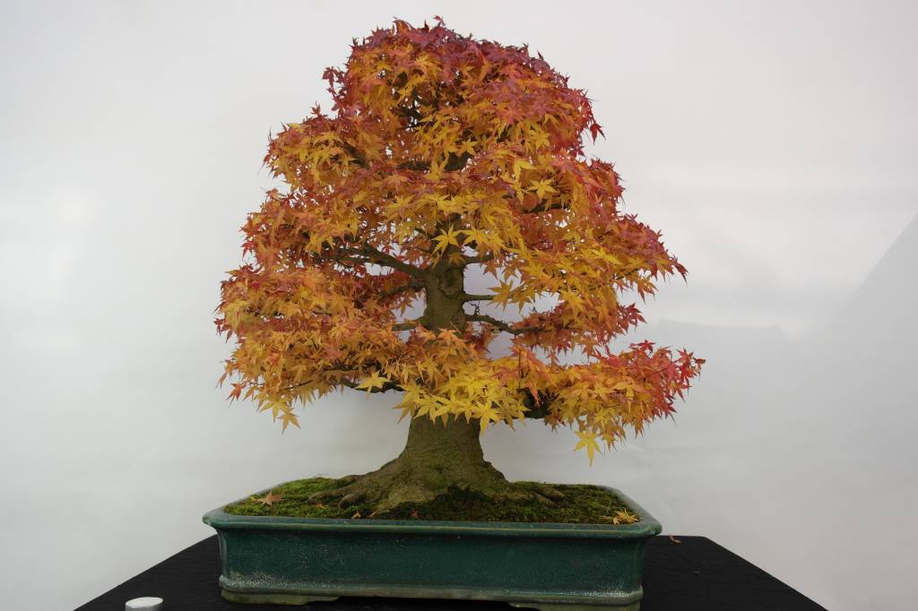 bonsai jap f cherahorn acer palmatum nr 5499 www. Black Bedroom Furniture Sets. Home Design Ideas
