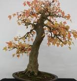 Bonsai Acer buergerianum, Drietands esdoorn nr. 5114