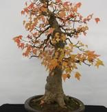 Bonsai Dreispitzahorn, Acer buergerianum, nr. 5114