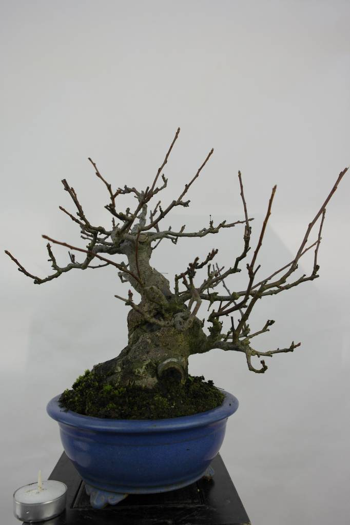 Bonsai Crabapple, Malus sieboldii, no. 5105