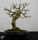Bonsai Trident maple, Acer buergerianum, no. 5513