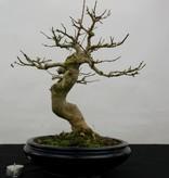 Bonsai Acer buergerianum, Drietands esdoorn, nr. 5513