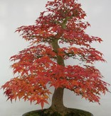Bonsai Japanese Red Maple, Acer palmatum deshojo, no. 5231
