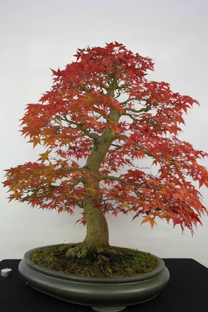 Bonsai L'Erable du Japon deshojo, Acer palmatum deshojo, no. 5231
