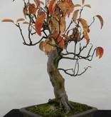 Bonsai Cydonia oblonga, Kweepeer, nr. 5234