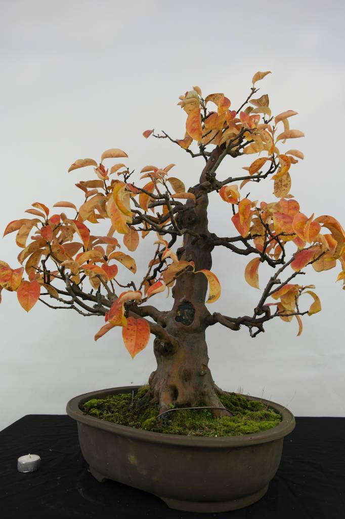 Bonsai Cydonia oblonga, Kweepeer, nr. 5573