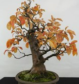 Bonsai Quitte, Cydonia oblonga, nr. 5573
