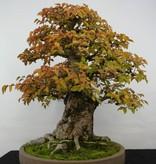 Bonsai Charme de corée, Carpinus coreana, no. 5229