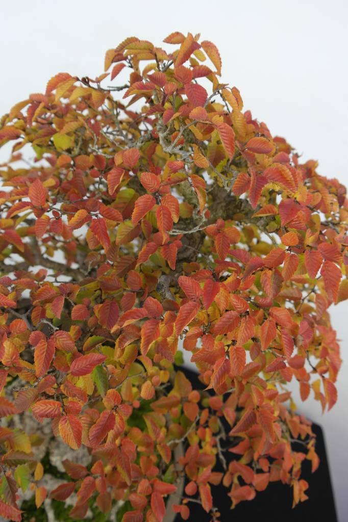 Bonsai Korean Hornbeam, Carpinus coreana, no. 5229