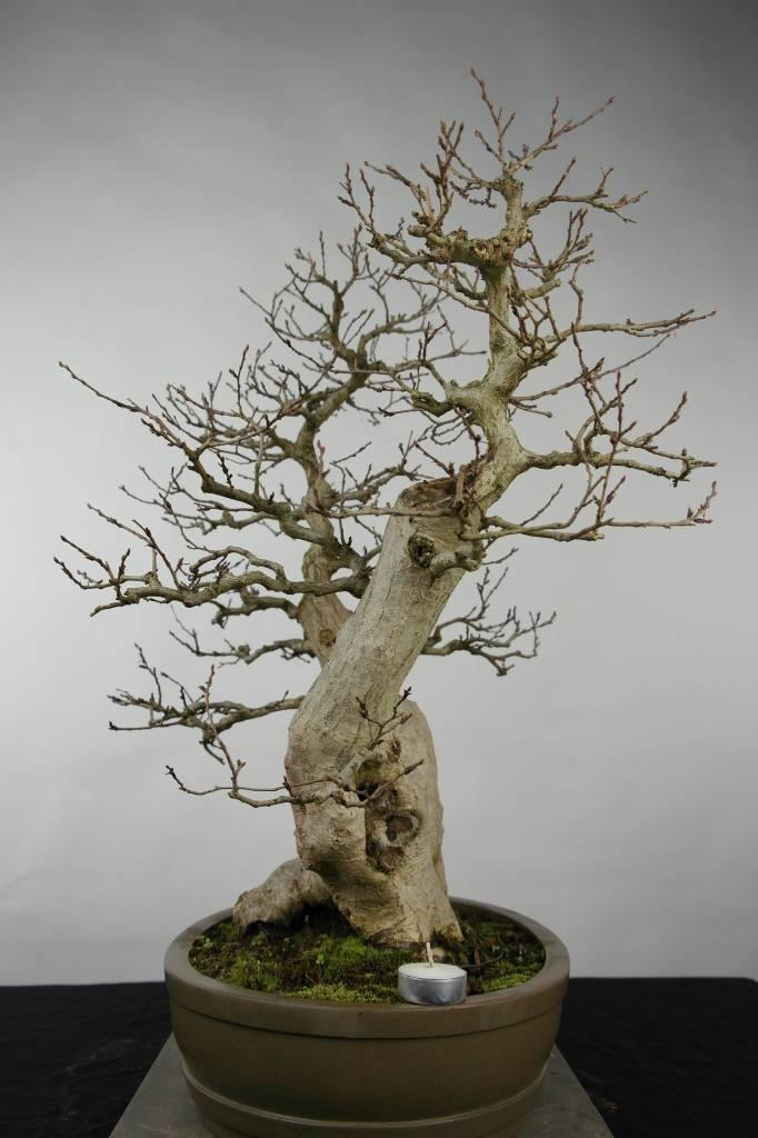 Bonsai Carpinus coreana, Koreaanse haagbeuk, nr. 5137