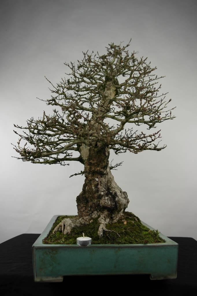Bonsai Koreanische Hainbuche, Carpinus coreana, nr. 5135