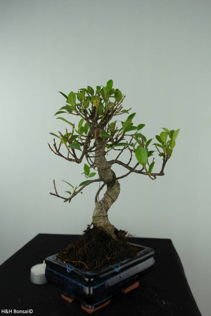 Bonsai Ficus retusa, nr. 6538