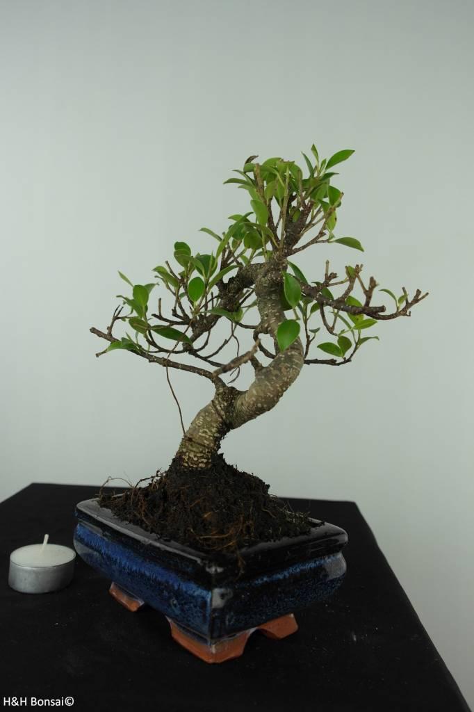 Bonsai Ficus retusa, nr. 6541