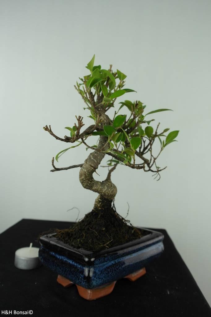 Bonsai Fig Tree, Ficus retusa, no. 6541