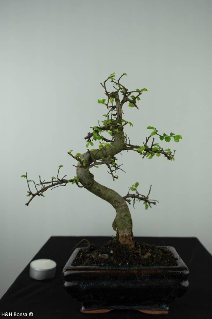 Bonsai Chin. Ulme, Ulmus, nr. 6581