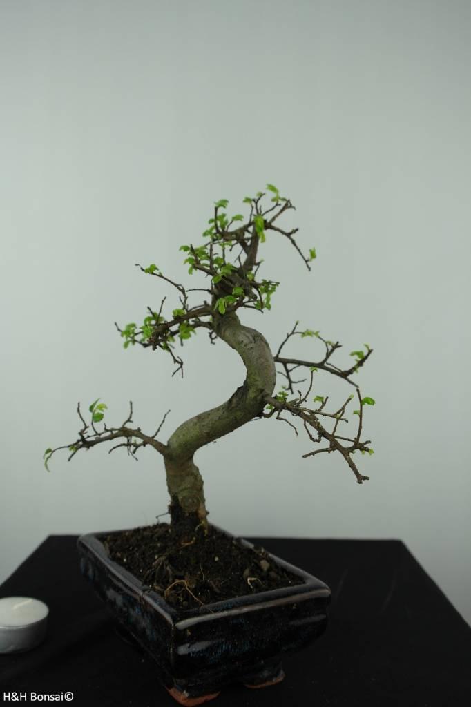 Bonsai Ulmus, Chinese Iep, nr. 6581