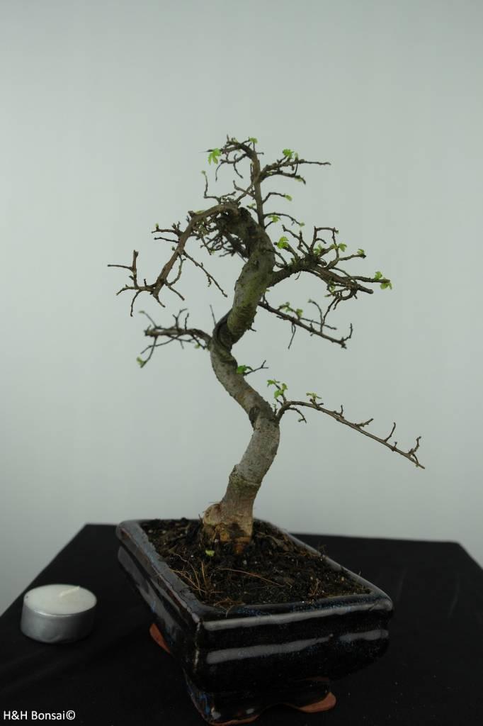 Bonsai Ulmus, Chinese Iep, nr. 6582