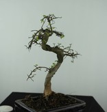 Bonsai Orme de Chine, Ulmus, no. 6582