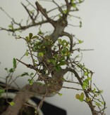 Bonsai Ulmus, Chinese Iep, nr. 6708