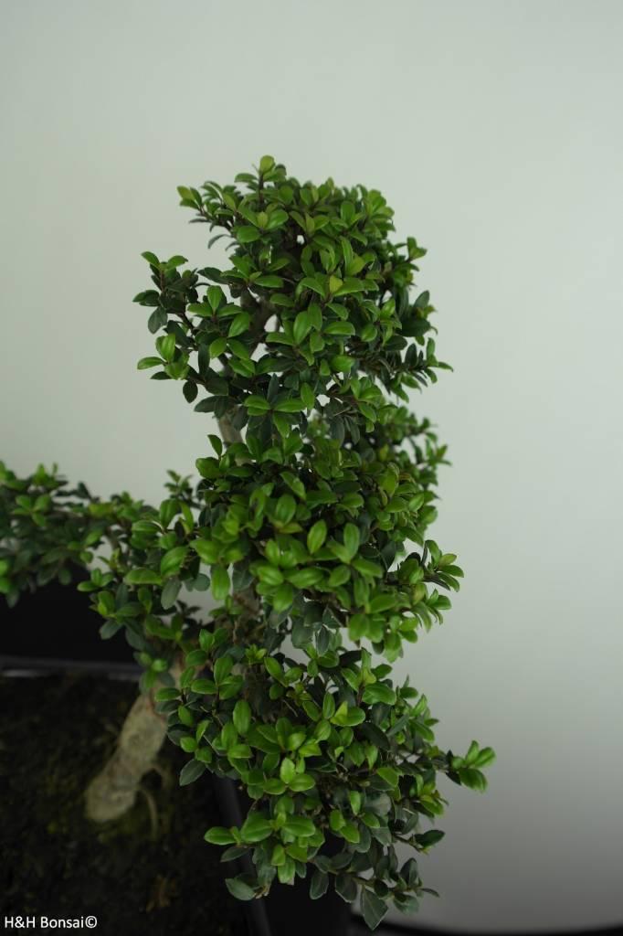 Bonsai Ilex crenata, Japanse hulst, nr. 6713