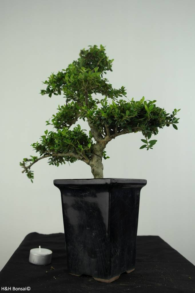 Bonsai Japanese Holly, Ilexcrenata, no. 6717