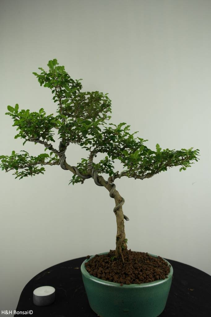 Bonsai Privet,Ligustrum sinense, no. 6988