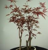 Bonsai Acer Palmatum, Japanse esdoorn, nr. 7015