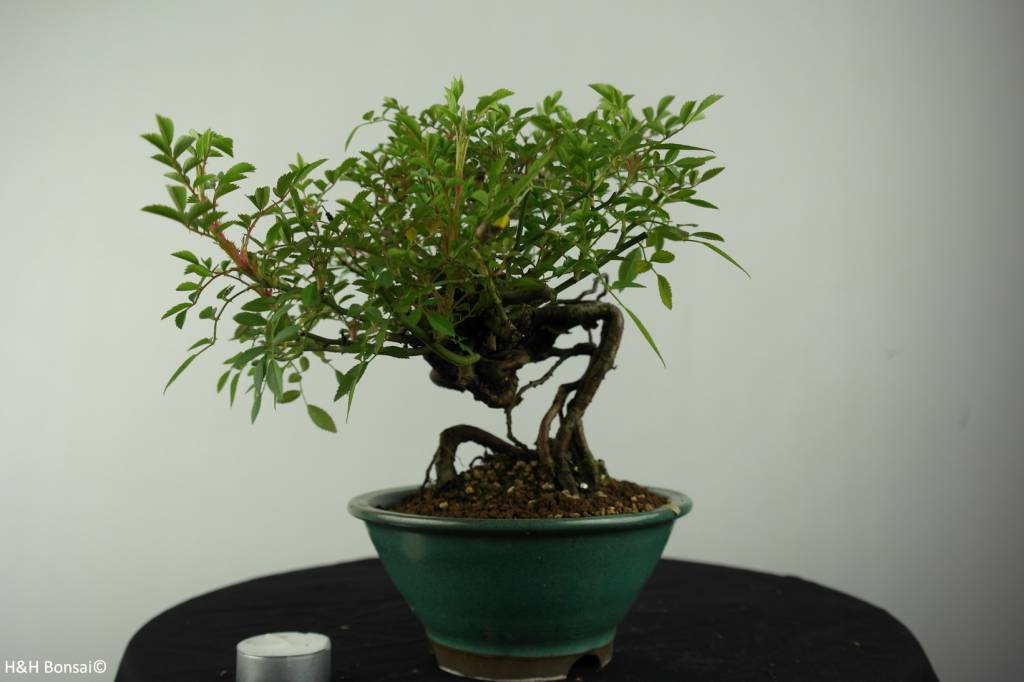 Bonsai Rose, Rosa sp., no. 6525