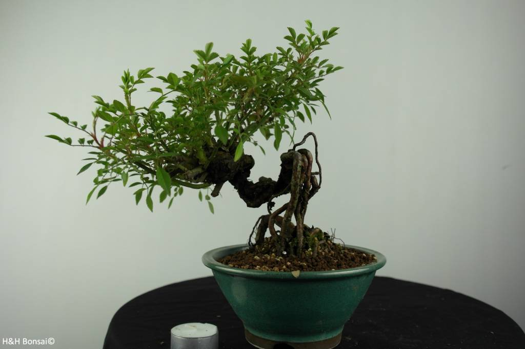 Bonsai Rose, Rosa sp., nr. 6525